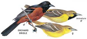 Orchard Oriole, Icterus spurius, identification graphic