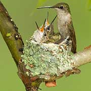 Ruby-throated Hummingbird, Archilochus colubris, with nest