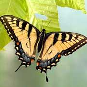 East Tiger Swallowtail